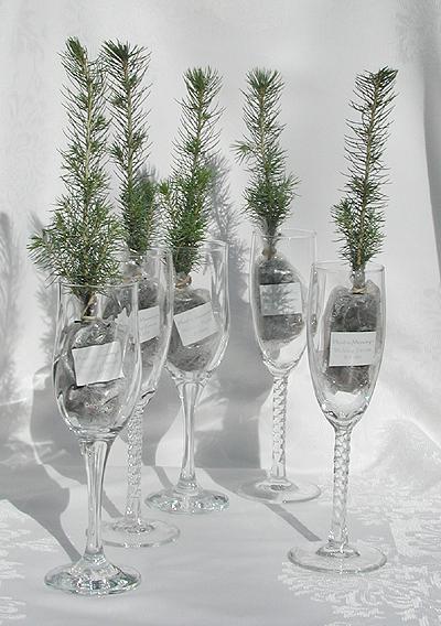 Live Evergreen Seedling Favors Plant A Favor